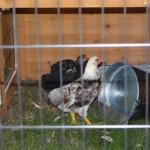 JoyPet Chicken Coop